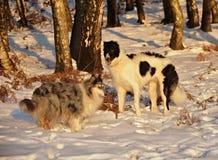 俄国猎狼犬和大牧羊犬在冬天 免版税库存图片