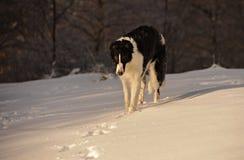 俄国猎狼犬在冬天 图库摄影