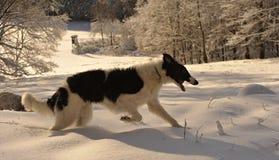 俄国猎狼犬在冬天 免版税库存照片