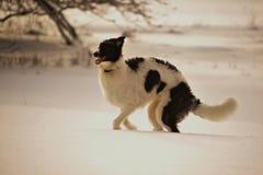 俄国猎狼犬在冬天 免版税图库摄影