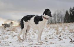 俄国猎狼犬年轻人 免版税库存图片