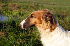 俄国猎狼犬狗年轻人 免版税图库摄影