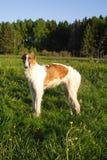 俄国猎狼犬狗年轻人 库存图片