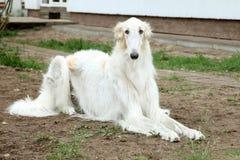 俄国猎狼犬狗灵狮俄语 库存图片