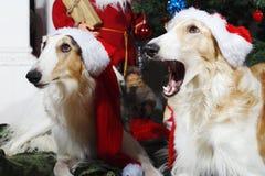从俄国猎狼犬狗的圣诞节问候 库存图片