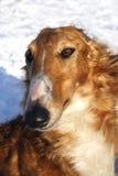 俄国猎狼犬狗纯血种马 库存照片