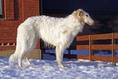 俄国猎狼犬狗纯血种马 免版税库存照片
