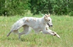 俄国猎狼犬狗运行的俄语 库存图片