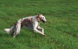 俄国猎狼犬运行中 免版税库存照片