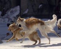 俄国猎狼犬 图库摄影