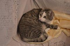 俄国猫 免版税库存照片
