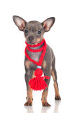 俄国玩具狗小狗罕见的颜色 免版税库存图片