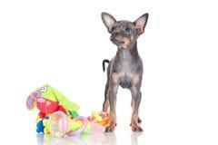 俄国玩具狗小狗罕见的颜色 免版税库存照片