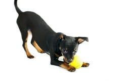 俄国玩具狗逗人喜爱的小狗  免版税库存图片