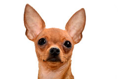 俄国玩具狗 免版税库存照片