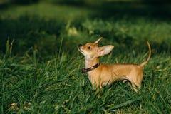 俄国玩具狗 免版税库存图片