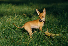 俄国玩具狗 免版税图库摄影