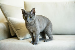 俄国蓝色猫,小猫坐沙发 免版税库存图片