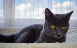 俄国蓝色猫说谎 图库摄影