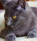 俄国蓝色猫说谎 库存照片