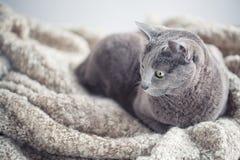 俄国蓝色猫画象 免版税图库摄影