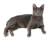 俄国蓝色猫 库存图片