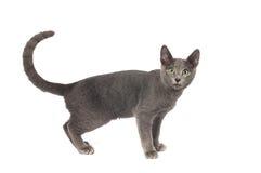 俄国蓝色纯血统小猫 库存图片