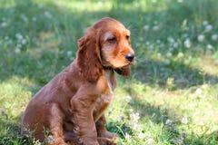 俄国西班牙猎狗小狗 免版税库存照片