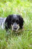 俄国西班牙猎狗 免版税库存图片