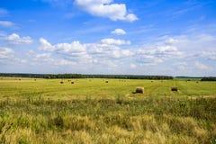 俄国领域与被割的干草和收获在一刈幅的草在一个清楚的夏日在8月莫斯科地区 库存图片