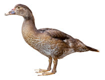俄国鸭子在与裁减路线的白色背景隔绝的Cairina moschata 免版税库存图片