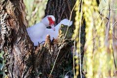俄国鸭子孵化它的在巢的鸡蛋 库存照片