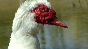 俄国鸭子Cairina moschata画象  家养的鸭子 Cairina moschata domestica? 影视素材