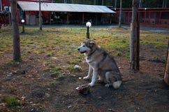 俄国 品种阿拉斯加的爱斯基摩狗的狗在狗养猫的处所` Talvi Ukko `的 2017年11月14日 库存照片