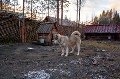 俄国 品种阿拉斯加的爱斯基摩狗的狗在狗养猫的处所` Talvi Ukko `的 2017年11月14日 免版税库存照片