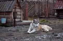 俄国 品种阿拉斯加的爱斯基摩狗的狗在狗养猫的处所` Talvi Ukko `的 2017年11月14日 免版税图库摄影