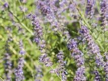 俄国贤哲, Perovskia atriplicifolia,开花特写镜头,选择聚焦,浅DOF 图库摄影