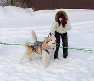 俄国 喀山 2月14日 尾随mushing在雪的西伯利亚爱斯基摩人雪撬队拉扯是在框架外面通过一个冬天的雪撬 免版税库存照片