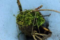 俄国 在一个老木树桩的绿色青苔 库存照片
