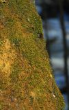 俄国 在一个老木树桩的绿色青苔 免版税库存图片
