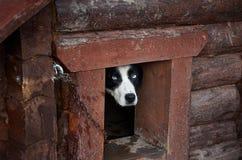 俄国 在一间狗屋的一条狗在狗狗窝的疆土 2017年11月14日 免版税库存图片