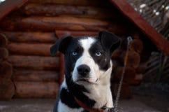 俄国 多壳的品种的狗在狗养猫的处所` Talvi Ukko `的 2017年11月14日 库存图片