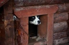 俄国 多壳的品种的狗在狗狗窝 2017年11月14日 免版税库存照片