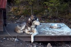 俄国 多壳的品种的狗在狗狗窝 2017年11月14日 图库摄影