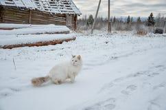 俄国 白色猫在Kinerma村庄在卡累利阿 2017年11月16日 库存图片