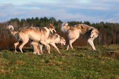 俄国psovy俄国猎狼犬 免版税库存图片