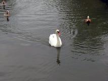 俄罗斯中部、漂浮在池塘的白色天鹅和三只鸭子 免版税库存图片
