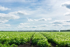 俄罗斯的土豆领域 免版税库存图片