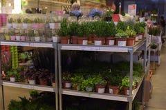 俄罗斯,圣彼德堡, 15,03,2015棵盆的植物在的待售 库存照片