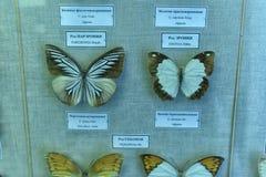 俄罗斯,圣彼德堡, 11,05,2015陈列蝴蝶 免版税库存图片